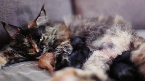 Grupa Kotów I Kotek Rasy Maine Coon Mały Czerwony I Czarny Kocięta Z Kotka