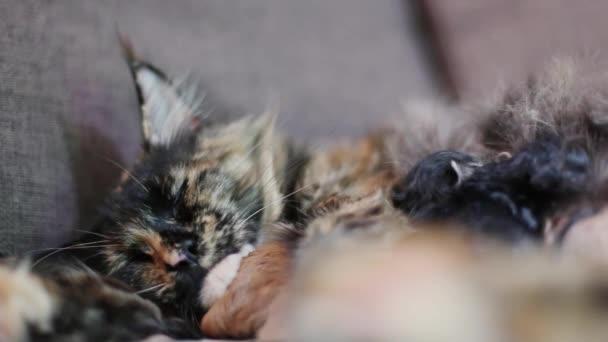 Gruppe von Katzen und Kätzchen Maine Coon. Kleine rote und schwarze Kätzchen mit Mutter Katze