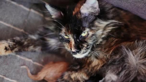 Macskák és cica Maine Coon csoportja. Kis piros és fekete kiscicák macska anya