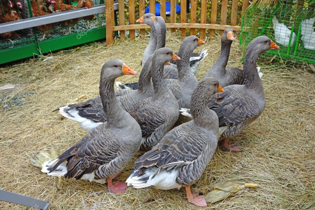 Geese on a poultry yard