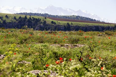 Meadow of wild tulips on the background of snowy mountains