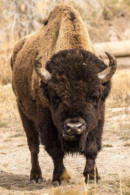 Lone Bull Bison