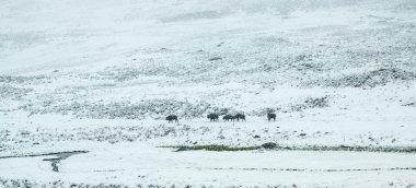 Bison Herd in Spring Snow Storm