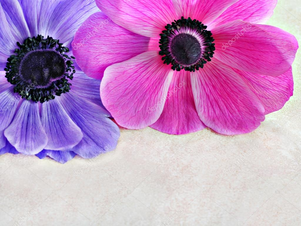 Anemone top border with copy space.