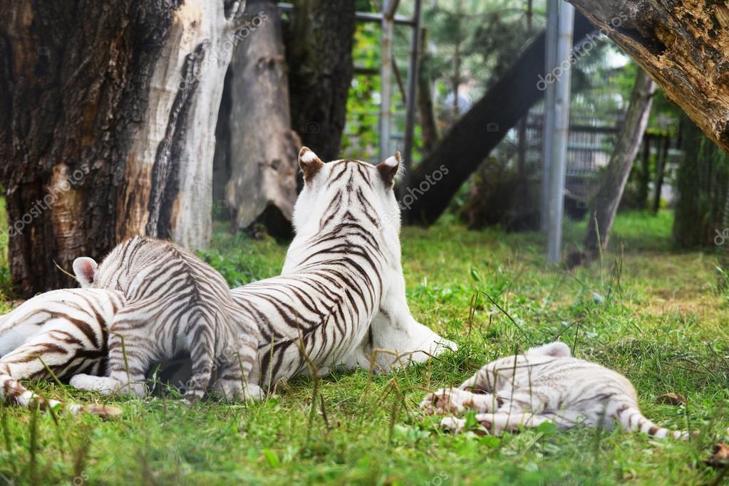 Tigers lie on green grass
