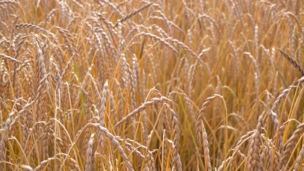 ripe wheat field view