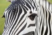Zebra v zoo