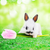 Nyúl-tulipán virág
