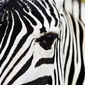 Detail hlavy zebra
