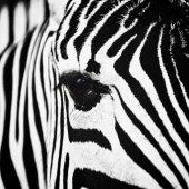 Zebra zvíře zblízka
