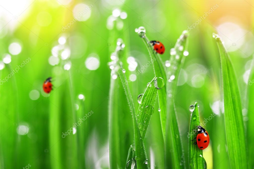 Fresh green grass with ladybugs