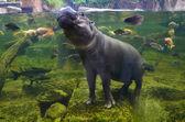 Nilpferd, Zwergflusspferd unter Wasser