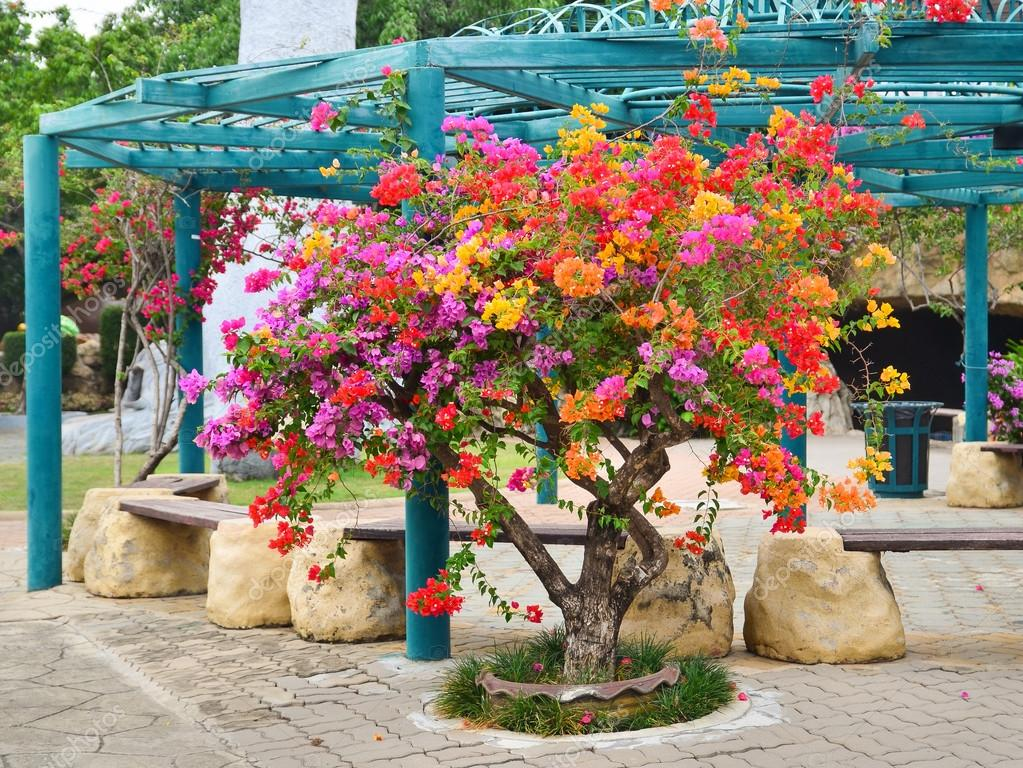 flower bougainvillea nong nooch botanical garden decorative flowers tree stock photo