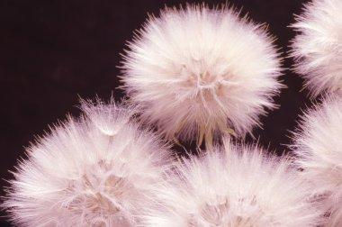 Dandelions close-up on dark