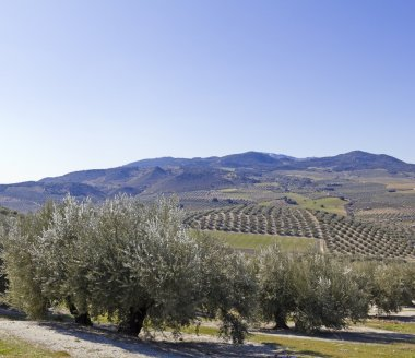 Olive orchards in the Andalusia