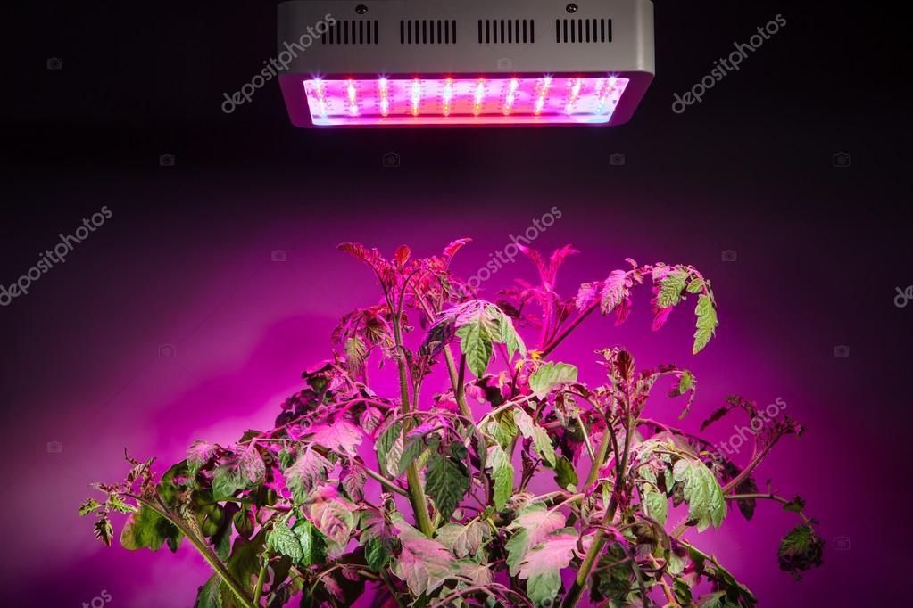 Ripe Tomato Plant Under Led Grow Light Stock Photo