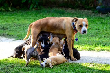 amstaff dog breast feeding puppies