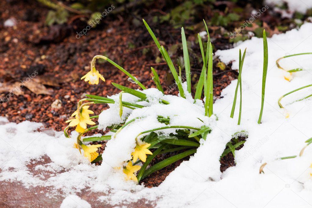 Fruhlingsblumen Im Schnee Stockfoto C Ewastudio 102095276
