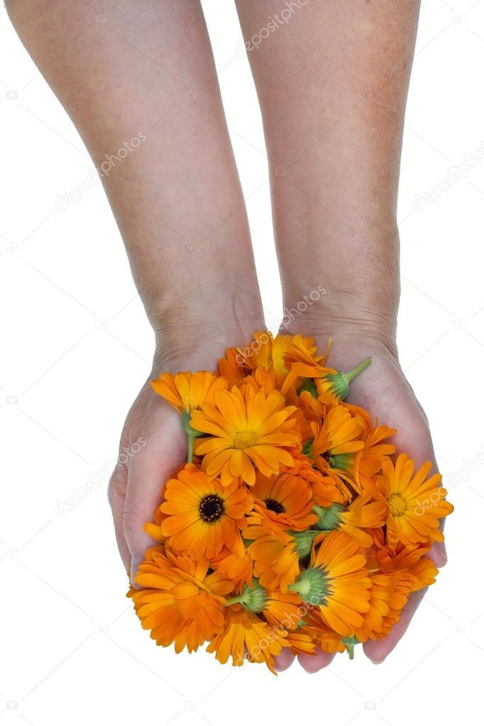 Medical marigolds in worker hands