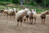group of sheep in the yard