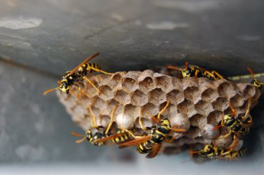 Wasp nest with wasps sitting on it