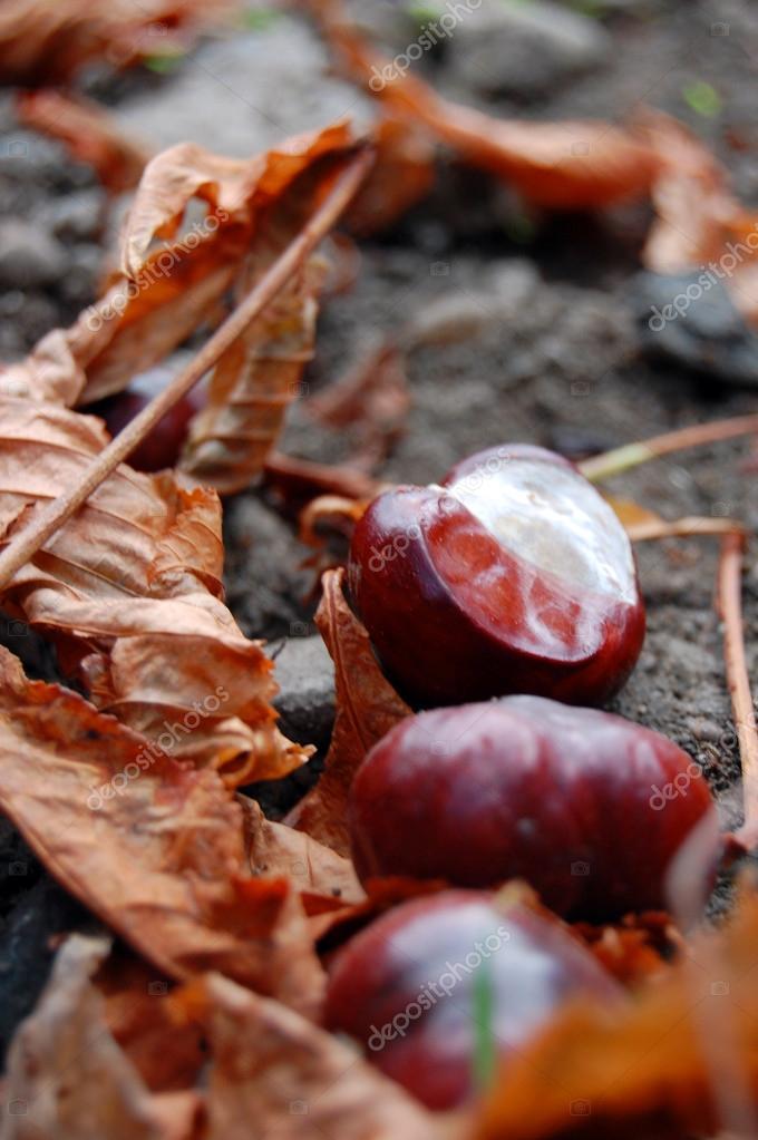 Chestnuts on the autumn street