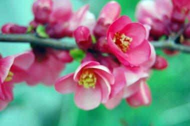 Beautiful pink spring flowers