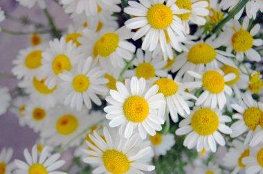 beautiful spring flowers, daisies