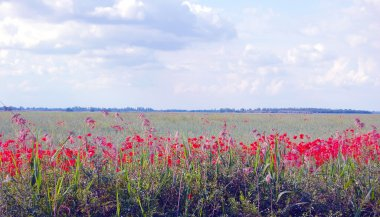 wild poppy field in summertime