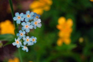 summer background of forget me not