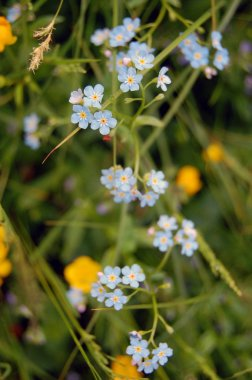 background of forget me not