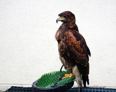 Brown eagle looking away