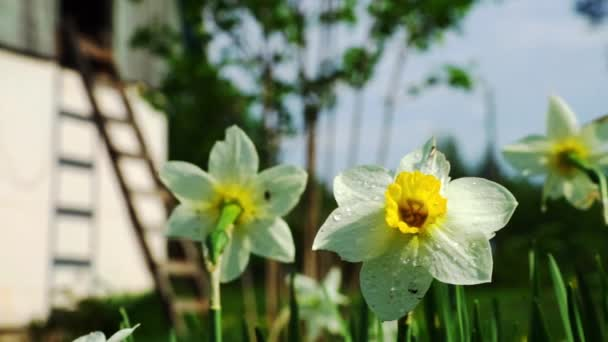 Nabídka bílý Narcis květiny v trávě