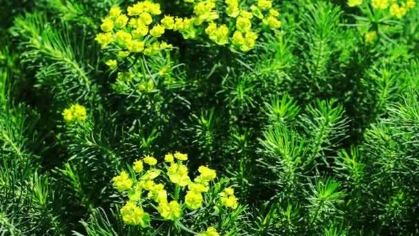 Žluté květy Cypress Liba