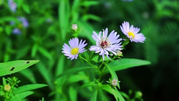 Pastelově fialové Aster květiny