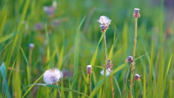 Dandellion květy v zahradě
