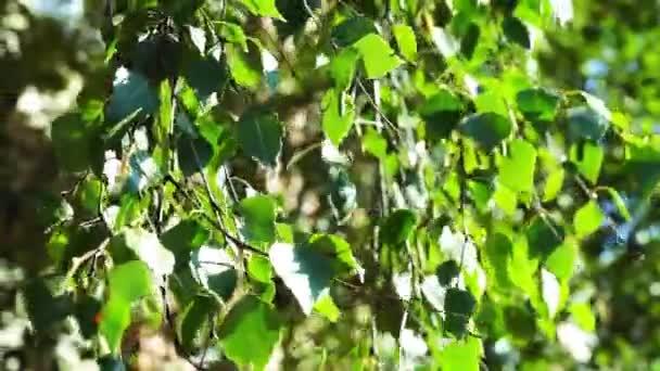 Březové větve stromu s listy pohyb ve větru