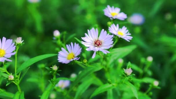 Pastelově fialové Aster květiny na zelené louce