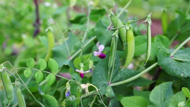grüne süße Erbsenschale mit Blütendolly-Trieb