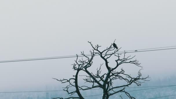 Ül egy nagy havazás száraz fenyő Old Crow