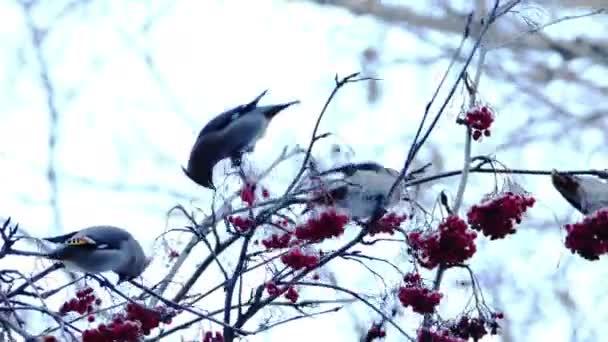 Brkoslav severní (Bombycilla Garrulus) ptáků jíst bobule Rowan od stromu