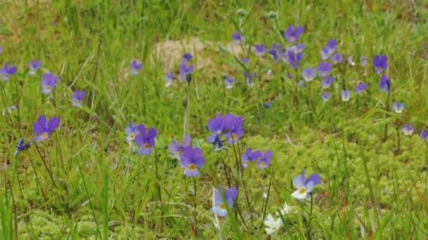 Krásné malé fialové maceška květiny