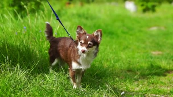 Chihuahua Small Dog in Green Grass