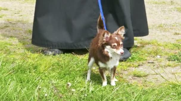 Chihuahua kis kutya, zöld fűben