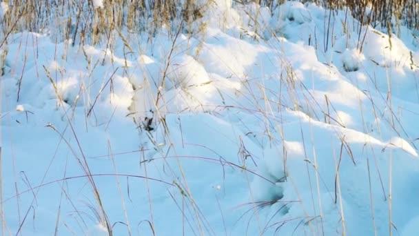 Suché trávy pod bílý sníh
