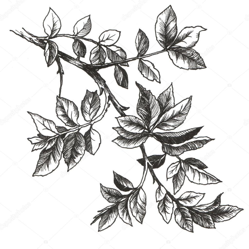 Rose Leaves Drawing Drawing Rose Leaves Stock Photo C Ola Ola 99113146