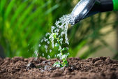 Photo Water Being Poured On Plants From Can