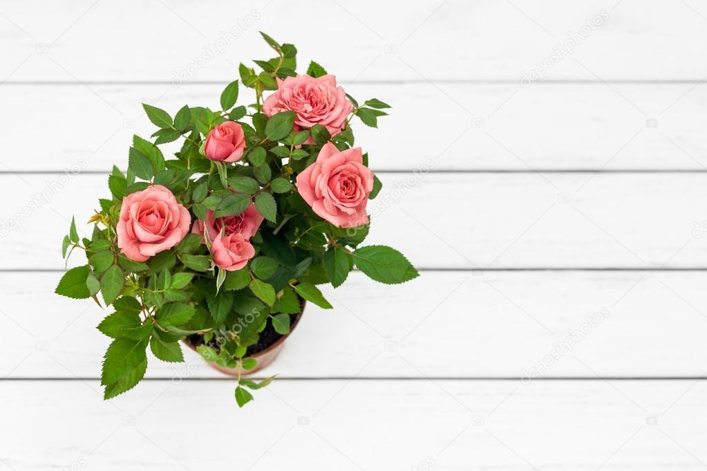 Rosen im Blumentopf — Stockfoto © taratata #104017964