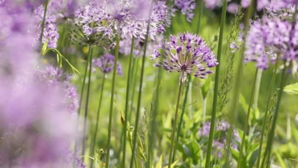 Allium giganteum květiny přírodní pozadí
