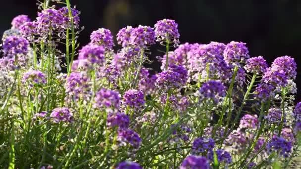 Lobularia maritima květiny zavřít